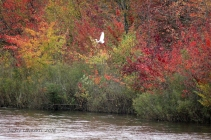 img_5310s-color-egret-wi-river