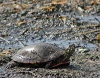 IMG_9433 Bokeh Turtle