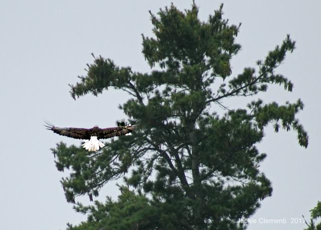 IMG_0877 s eagle