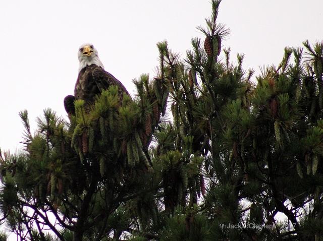 IMG_0898 s eagle