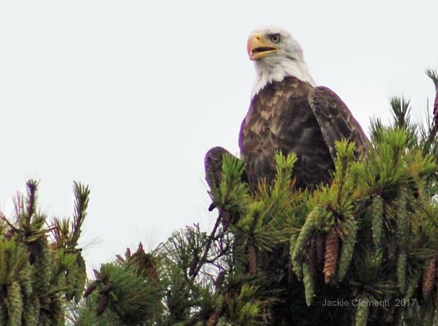 IMG_0900 s eagle