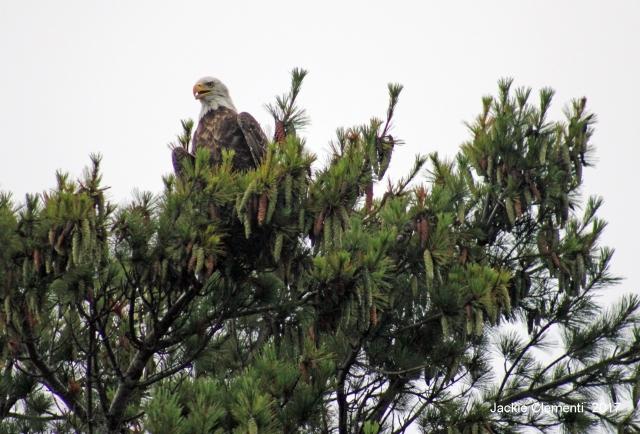 IMG_0902 s eagle