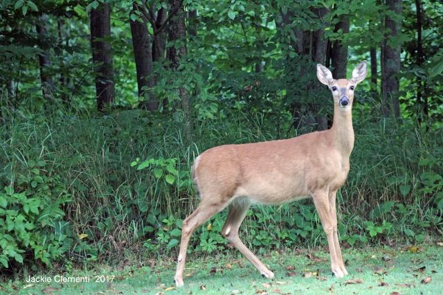 IMG_1151 s y deer