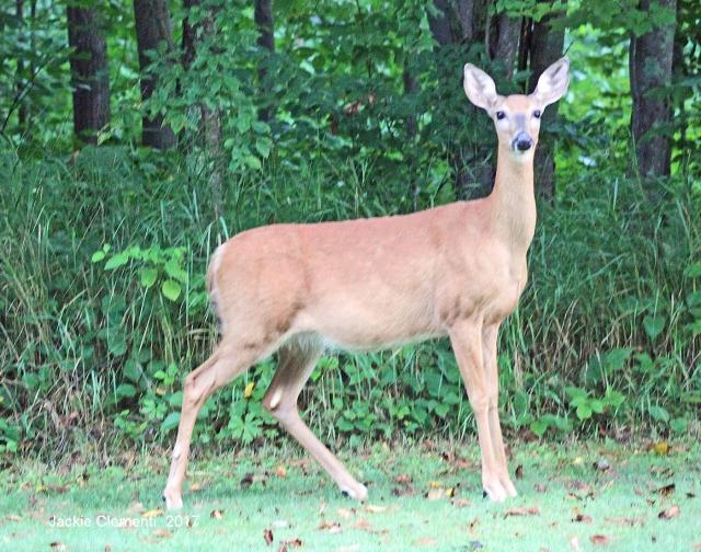 IMG_1152 s deer