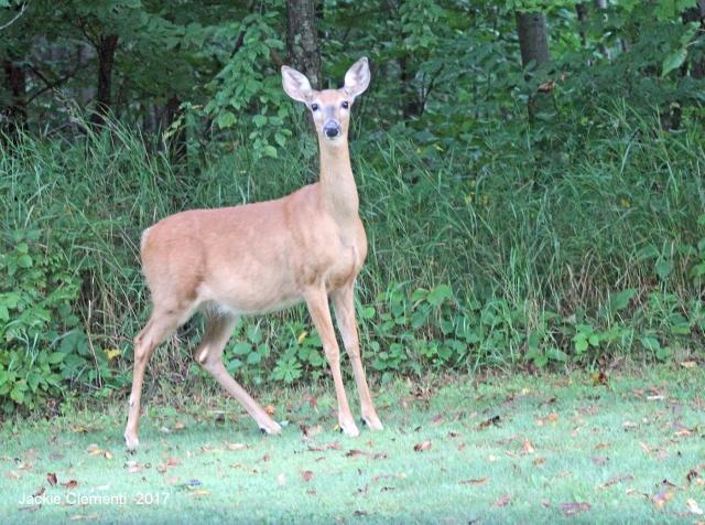IMG_1154 s deer