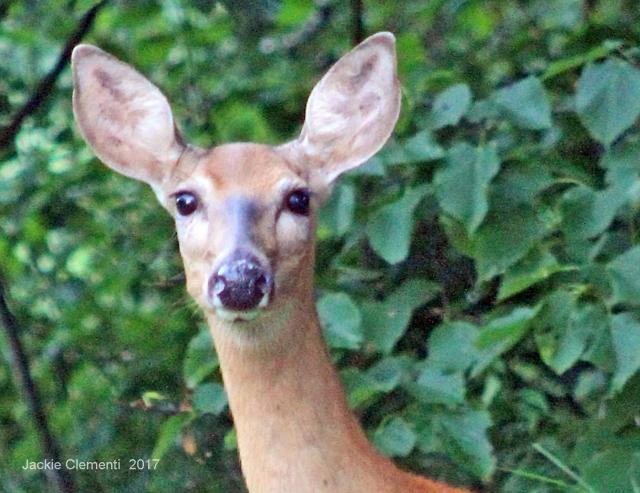 IMG_1160 s deer