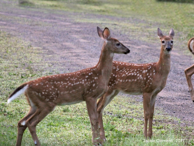 IMG_1250 fawns