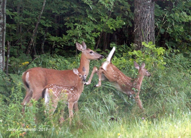IMG_1262 mom fawns