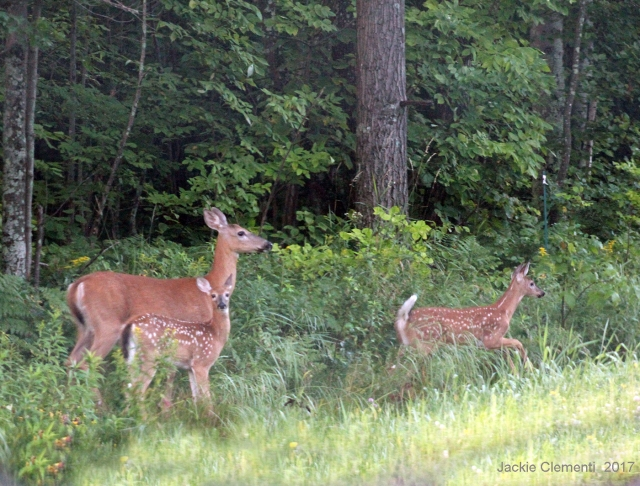IMG_1264 mom fawns