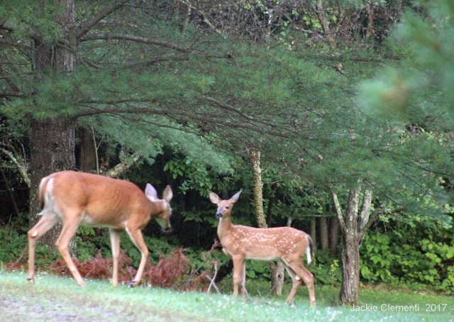IMG_1316 s mom fawn